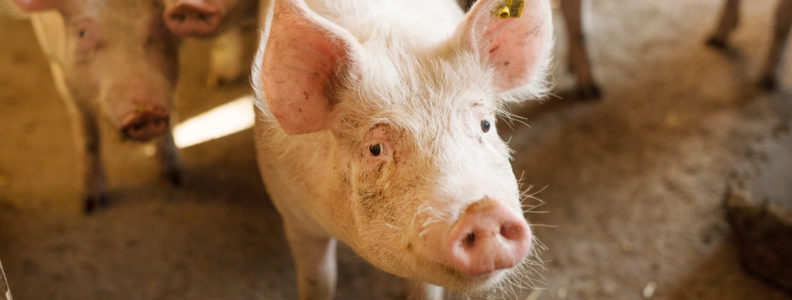 China seek alternative protein sources as China's African Swine Disease sweeps the nation